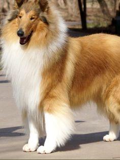 Beautiful Sable Boy......my next dog