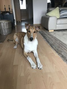 Smooth Collie, Dogs, Animals, Animales, Animaux, Animal Memes, Animal, Pet Dogs, Dog
