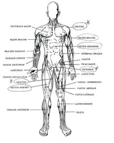 major muscle groups anatomy tag major muscle groups in the human body human anatomy diagram. Black Bedroom Furniture Sets. Home Design Ideas