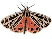Moth Photographers Group -- WalkThroughIndex for moth identification entomology