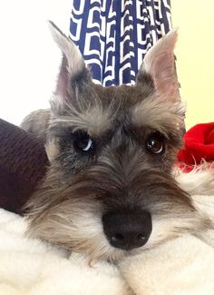 OMG what a super adorable little mini schnauzer, such a sweet face and eyes that can melt your heart!!