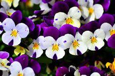 Image result for violets flowers images Violets, Trivia, Flowers, Plants, Image, Flora, Plant, Royal Icing Flowers, Flower