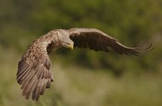 White-tailed eagle by BogdanBoev.deviantart.com on @DeviantArt
