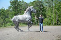 Лошади Першерон, Андалузская Лошадь, Арабские Лошади, Лошадиные Породы, Ломовая Лошадь, Импрессионизм, Лошади, Животные