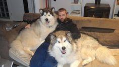 Diese Hunde, die liebend gern mit ihrem Herrchen schmusen.