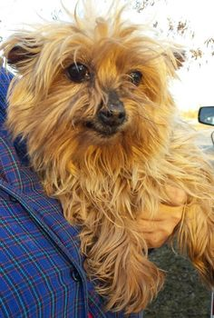 Meet Keisha Joy Senior**. Sweet girl!!, a Petfinder adoptable Yorkshire Terrier Yorkie Dog | Gaffney, SC | Keisha Joy loves to cuddle and sit on your lap!! She is 10 - 11 years old.Her person is not able to...