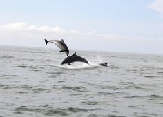 Dolphins, Cork Harbour, Cork, Ireland