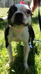 Angel: Boston Terrier, Dog; Sayreville, NJ