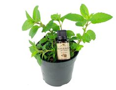 What is an Essential Oil?        Mountain Rose Herbs is THE BEST essential oil from a non MLM company!