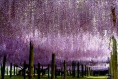 Re-Pin And CLICK The Image For More Pictures and Information on Kawachi Fuji Gardens, Wisteria Tunnel in Japan  http://www.canuckabroad.com/places/place/kawachi-fuji-gardens-wisteria-tunnel