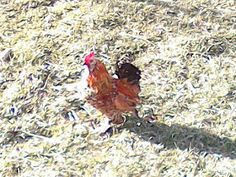 My obsessions: Glitter, Antiques & Homesteading.: Guess whose not Hen! Help us name our Rooster! Duck Eggs, Big Animals, Dumb And Dumber, Homesteading, Rooster, Glitter, Antiques, Antiquities, Antique