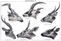 An antelope is a member of a number of even-toed ungulate species indigenous to various regions in Africa and Eurasia. Antelopes comprise a wastebasket taxon within the family Bovidae, encompassing those Old World species that are not cattle, sheep, buffalo, bison, or goats. A group of antelope is called a herd.[1]