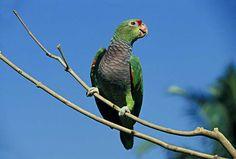 Vinaceous Amazon (Amazona vinacea) / Винногрудый амазон