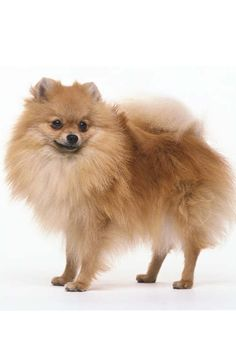 This is the exact dog I want!!!!!!!!!!!!!!!!! So badly!!! Lol