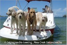 A boat full of goldendoodles..life would be great!