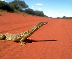 I spent over a year covered in this very fine red dust also saw a few of these creatures out there! Western Australia, Australia Travel, Crocodile Species, Meanwhile In Australia, Camouflage, Australian Animals, Australian Icons, Australia Photos, Reptiles And Amphibians