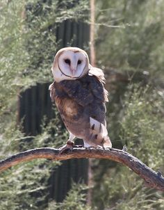barn owl -- see the white feather dots