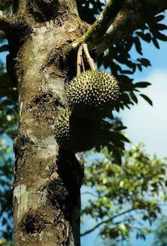 Как и где растут экзотические фрукты