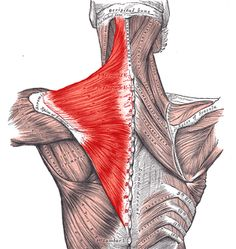 Dolor de cuello y hombros: Músculo trapecio
