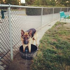 Having a ruff time with the water tub at Bruno Canziani Dog Park - Livermore, CA - Angus Off-Leash #dogs #puppies #cutedogs #bigdogs #shepherd #germanshepherd #dogparks #angusoffleash #livermore #california: