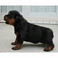 """Explore our internet site for more information on """"rottweiler puppies"""". It is an outstanding place to find out more. German Rottweiler, Rottweiler Love, Rottweiler Puppies, Baby Puppies, Cute Puppies, Cute Dogs, Dogs And Puppies, Doggies, Big Dogs"""