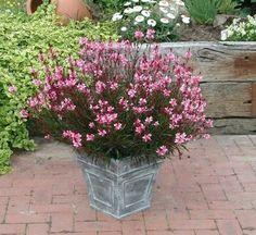 Gaura rose, plante très facile et résistance jusqu'aux gelées.