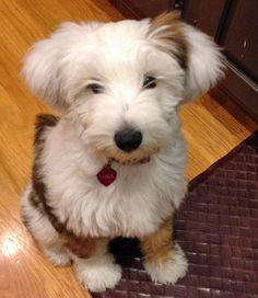 Lula the Tibetan Terrier Puppy - cutie!