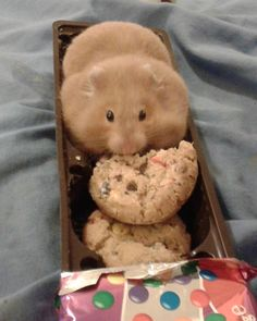 Hamster in a cookie sleeve:  Not good that it's eating chocolate, salt, and other bad things in the cookie like oil, but, this is funny!!  Yay for hamster pouches!