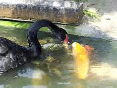 Black Swans Feeding Koi Fish : gifs