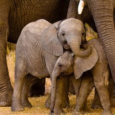 South Africa elephant animal mammal indian elephant elephants and mammoths vertebrate Wildlife fauna african elephant adult standing baby zoo Safari Family