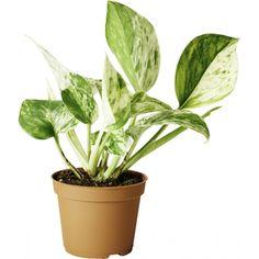Gullranke til kvit hylle House Plants, Plant Leaves, Interior Design, Nest Design, Home Interior Design, Indoor House Plants, Interior Designing, Foliage Plants, Houseplants