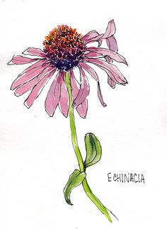 Christinas Garden-Echinacea, ink and watercolor, 5x7 in
