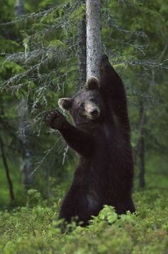 A brown bear appears to wave while scratching its back against a...
