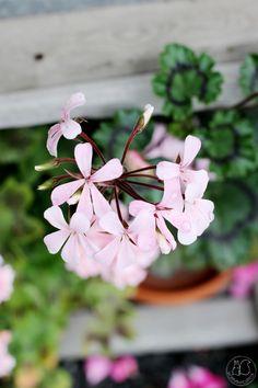 Oravankesäpesä   Kääpiöpelargoni Pelargonium zonale 'Dresden Light Pink'