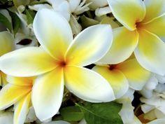 Tropical Plumeria Flower Wallpaper For Computer Wallpaper Tropical Flowers, Hawaiian Flowers, Exotic Flowers, Amazing Flowers, Pretty Flowers, Yellow Flowers, Hawaiian Leis, Flowers Nature, Flores Plumeria