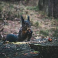 Although squirrels in Switzerland aren't afraid of humans, we should respect their space. If we are patient and kind, they will approach. Squirrels, Switzerland, Respect, Safari, Space, Animals, Instagram, Chipmunks, Floor Space