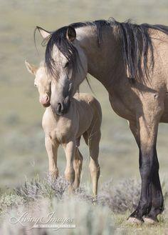 Buckskin, mare and foal.  So sweet.