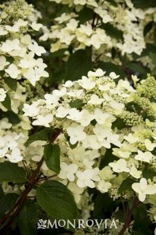 Monrovia's Fire and Ice Panicle Hydrangea details and information. Learn more about Monrovia plants and best practices for best possible plant performance.
