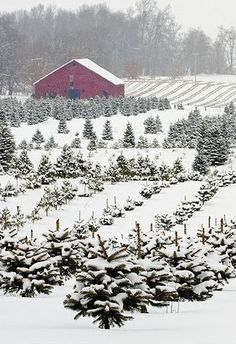 My dream, to live on a Christmas tree farm. Old Christmas Tree Farm. Old Christmas, Merry Little Christmas, Country Christmas, Christmas Trees, Xmas, Christmas Scenery, Natural Christmas, Cheap Christmas, Christmas Music