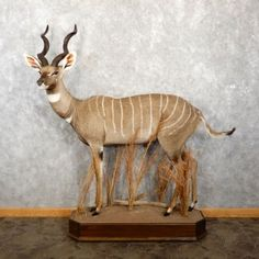 This amazing African Lesser Kudu taxidermy mount is for sale @thetaxidermystore.com