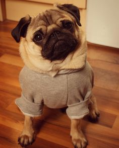 Does my neck look big in this?  #puglife
