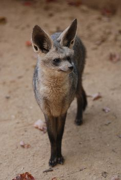 Bat-Eared Fox of the African Savannah eats eggs, rodents, birds & tons of INSECTS, which it hears via its 14cm, black EARS (on a 55cm body). Loves termites & locusts! Eats insect eggs laid on animal feces. ick, but Great!