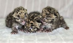 Nashville Zoo is pleased to announce the births of two litters of Clouded Leopard cubs. On March 26, Jing Jai gave birth to one female cub and Baylie gave birth to one male and one female. All three are doing well and are being hand-raised by the Zoo's animal care staff. #ZooBorns http://www.zooborns.com/zooborns/2013/04/nothing-says-its-springtime-like-the-birth-of-clouded-leopard-cubs.html