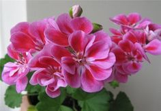 Условия выращивания пеларгонии зональной в домашних условиях