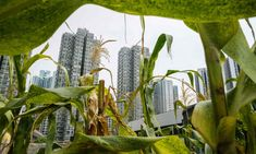 Rooftop crops: urban farms in Hong Kong – in pictures | World news | The Guardian Urban Farming, The Guardian, Cactus Plants, Rooftop, Farms, Hong Kong, News, City, World