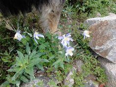 Hemingway is standing dangerously close to some columbines, our state flower. I didn't realize what the flowers were until I took the picture, honestly. Near Lake Isabelle in the Brainard Lake Recreation Area near Nederland, Colorado.