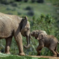 All About Elephants, Elephants Playing, Save The Elephants, Baby Elephants, Elephant Pictures, Elephants Photos, Cute Animal Pictures, Elephant Photography, Animal Photography