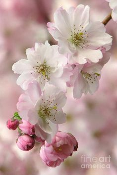 Cherry Blossom Wallpaper, Cherry Blossom Art, Blossom Trees, Flower Wallpaper, Most Beautiful Flowers, Pretty Flowers, Beautiful Flowers Wallpapers, Spring Blossom, Flowers Nature