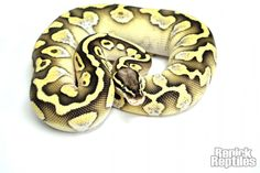 RenickReptiles.snake.ball python.Pastel Lesser Calico Plus