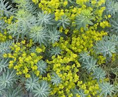 """'Blue Haze' Euphorbia look-good-all-year-around, recent hybrid of Euphorbia nicaeensis , powder-blue linear foliage topped from mid-Summer on contrasting greeny-chartruese """"flowers"""" (bracts). leaves remain ever blue. Cut back old stems for reliable fresh new growth. Gorgeous planted in foregeround of dark foliaged guys like Heuchera 'Melting Fire.' Not fussy about soil but well-drained is best. To 18"""" tall & 2-3' wide. sap of this plant can be TOXIC to varying degree"""